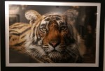 Tiger Tiger by xx-Horsham Museum-2 Dec 2017-photoCR